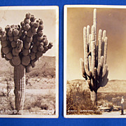 Vintage Southwest Tourist Botanical Arizona Saguaro Postcard Roadside