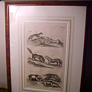 "Framed Antique Copperplate Engraving ""Tunneling Mammals"" 1660 Amsterdam"