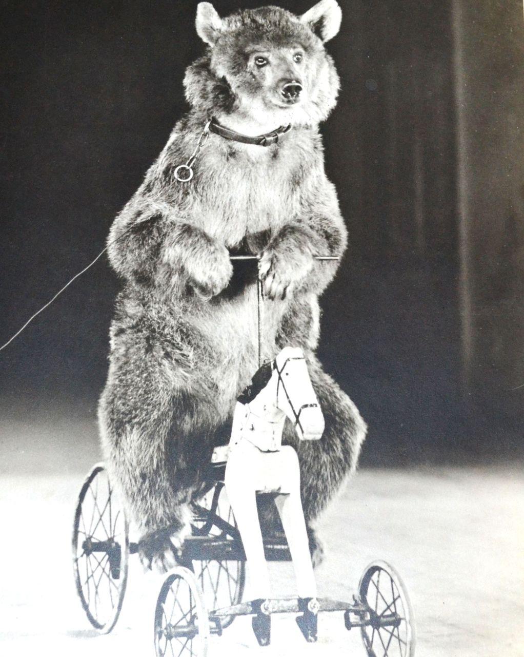 Culver   Circus Bear o...