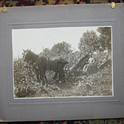 Team of Horses Harvesting Cornfield - Early 1900