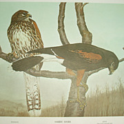 Harris Hawk/ Black Hawk  2 sided print  Rex Brasher