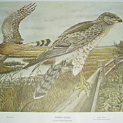 Marsh Hawk/ Osprey  2 sided print Rex Brasher