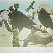 Caracara/ Cyr falcon 2 sided print Rex Brasher