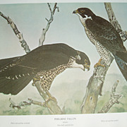 Perigine falcon/Apomada falcon 2 sided print Rex Brasher