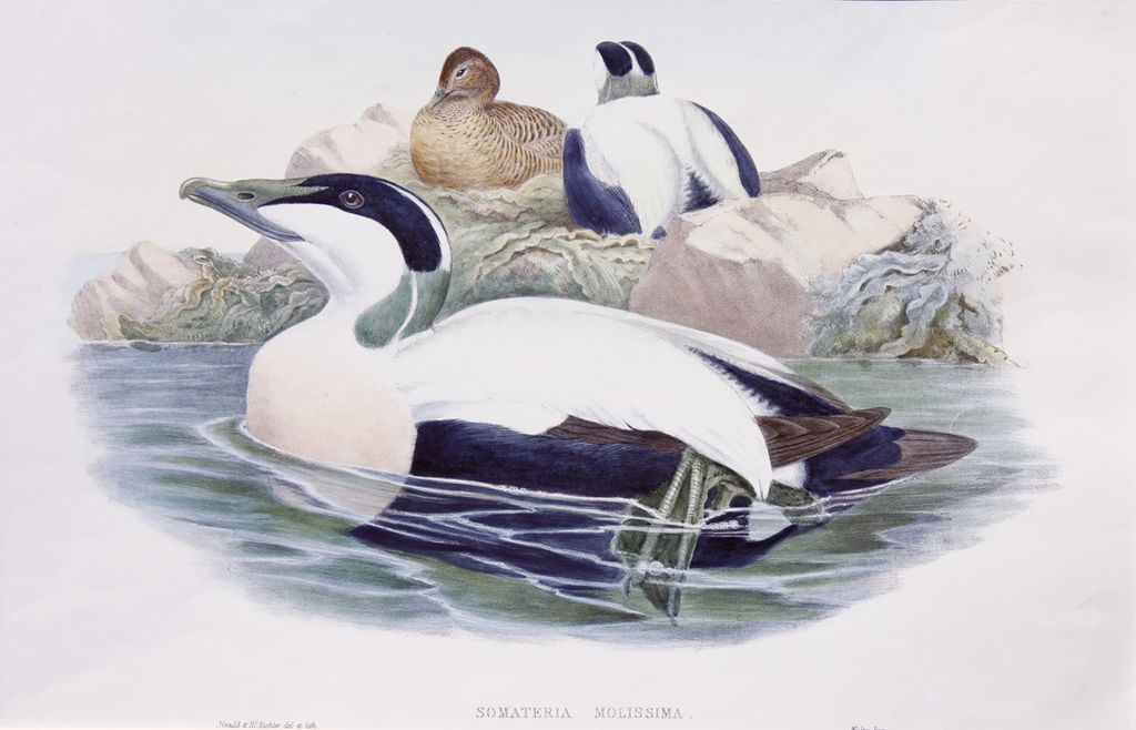 John Gould's The Common Eider Duck- The Birds of Great Britain
