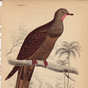 Jardine Pheasant-tailed Pigeon