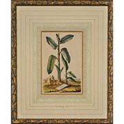 SALE Abraham Munting, &quot;Botanicals&quot; Antique Hand-Colored Etchings