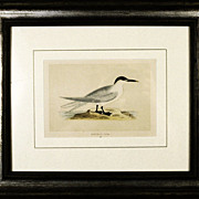 Antique Sea Birds 1800's