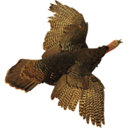 RARE-Full Flight Taxidermy Turkey Jake $500+ To Stuff