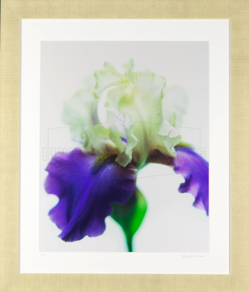 """The Iris"" Stephen Brownlee, Limited Edition Print"