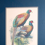 Vintage 26&quot; Framed Bird Print Phasianus Deccollatus - Kweichow Pheasant