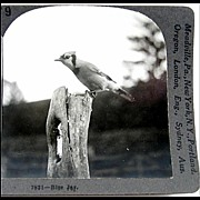 Blue Jay Stereo View by Keystone