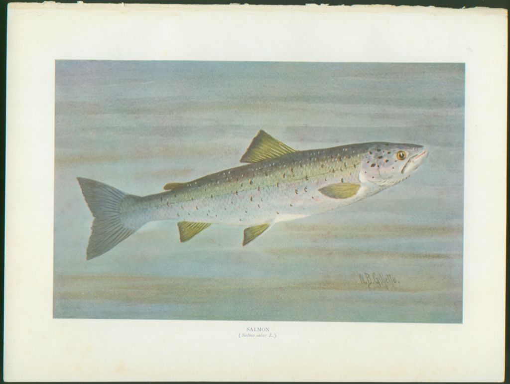 Vintage William B. Gillette Fish Print - Salmon