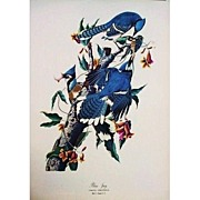 SOLD Vintage Audubon Blue Jay Color Print 1964 Large Format