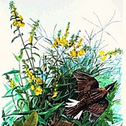 Audubon Meadow Lark Color Print 1964 Large Format