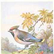 Charming Alfred Mainzer Bird Series Postcard #209~Autumn CEDAR WAXWING! ALMA Printed in Belgiu