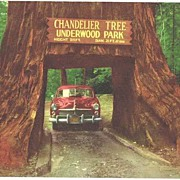 1950s California REDWOOD Highway Chandelier Drive-Thru Tree Ektachrome Postcard~Selithco True