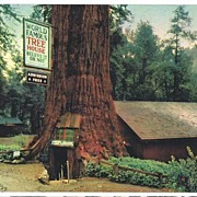 Delightful 1950s California REDWOOD Highway 'The Tree House'  Ektachrome Postcard~Selithco Tru