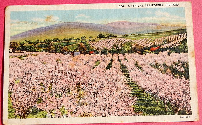 1936 A Typical California Orchard Postcard