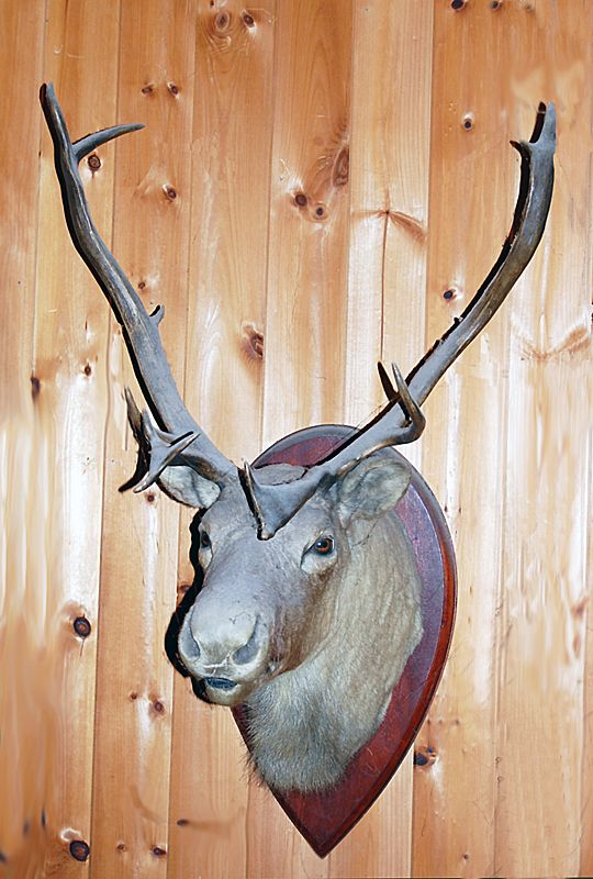 Old Taxidermy Elk Head Mount