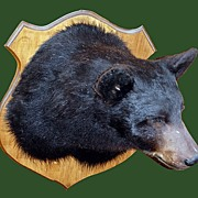 Old Taxidermy Maine Black Bear Head Mount