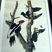 Antique Framed Audubon Ivory Billed Woodpecker Print, Havell