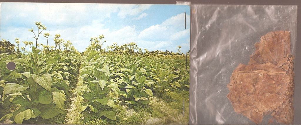 Tobacco-Land, U,S.A. Postcard