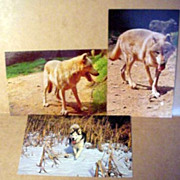 Lobo Wolves Post Cards - 3
