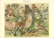 1898: Foreign Cage Birds. 2 Fine Chromo Lithographs