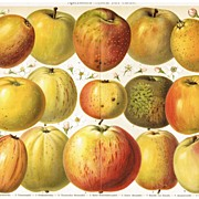 Apples: Very decorative, antique Chromo Lithograph. 1902