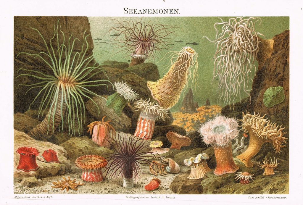Sea Anemones: Decorative, colorful, antique Lithograph.