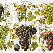 1900: Grapes. Antique Chromolithograph