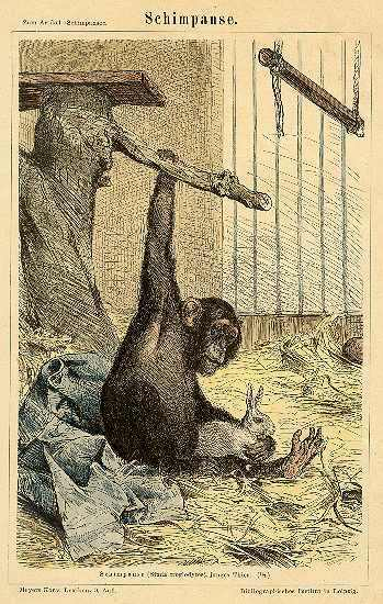 Chimpanzee: Etching from 1892
