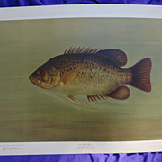 J.L.Petrie; 1890's Chromolithograph of the Rock Bass by William C.Harris