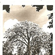 Real Photo Postcard of Shower Trees in the Hawaiian Islands