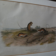 JOHN J. AUDUBON (1785-1851) original 19th century large folio lithograph print of quadruped ma