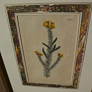 Botanical art original 1806 hand colored engraving print after Sydenham Edwards (1768-1819)