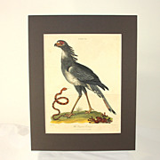 Hand colored engraving �The Serpent Eater� dated 1803