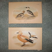 Pair of Duck Prints c. 1890