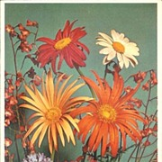 Alfred Mainzer Daisies Postcard- Unused