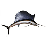 Taxidermy 9' Sailfish