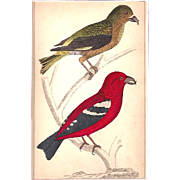 Matted Victorian Bird print with original Hand-coloring: Crossbills