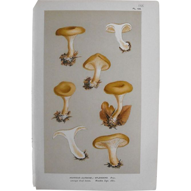 Mushroom Study Chromolithograph  Print  Circa 1881