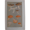 Mushroom Study Print  Circa 1888
