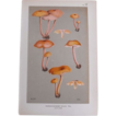 Mushroom Study Chromolithograph  Print  Circa 1888