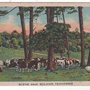 Scene of Cattle near Bolivar TN Tennessee - Postmarked Bolivar TN
