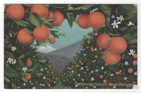 California's CA Famous Naval Oranges Vintage Postcard