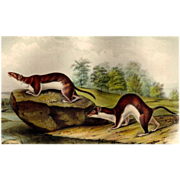 John James Audubon - Authentic Lithograph - Weasel
