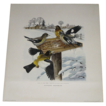 The Birds of Our Land &quot;Evening Grosbeak&quot; Vintage Print by Roger Tory Peterson