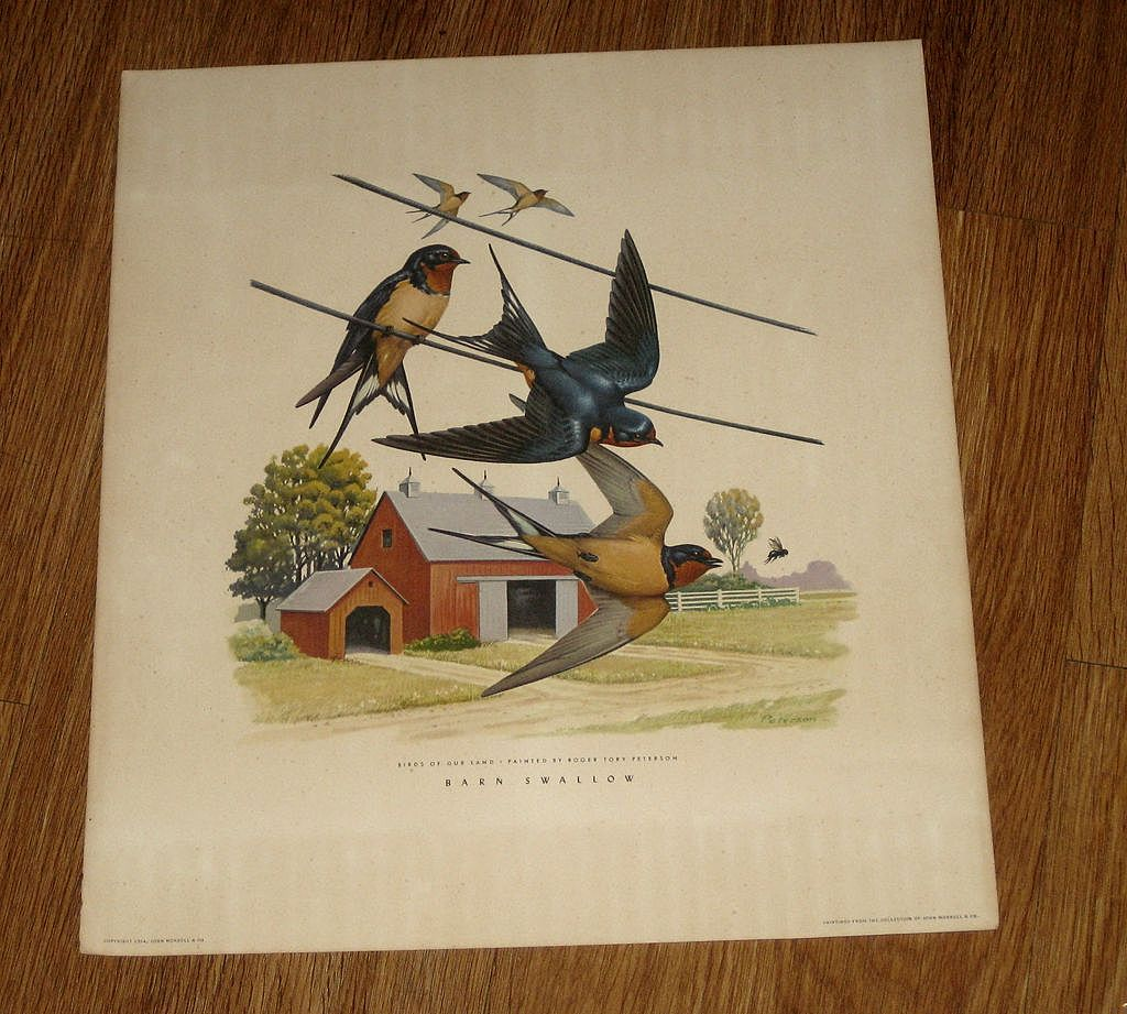 Vintage 1954  Roger Tory Peterson  Print,  Barn Swallows